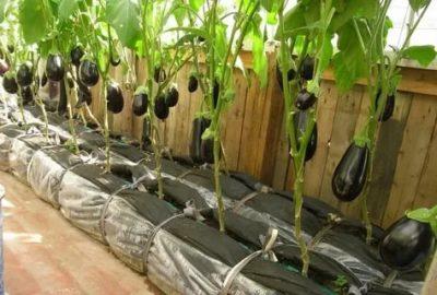 с чем можно посадить баклажаны