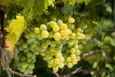 сорт винограда ркацители