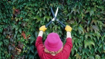 как обрезать девичий виноград
