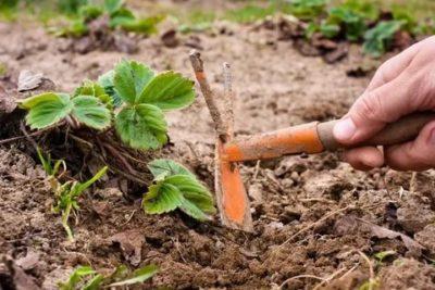 уход за ремонтантной клубникой после первого сбора урожая