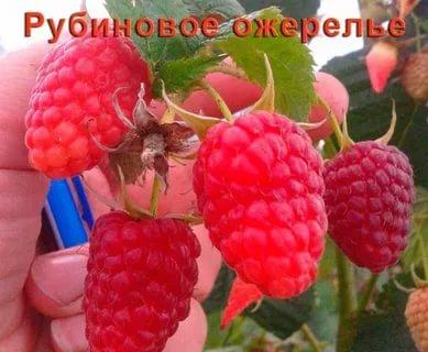 малина рубиновое ожерелье описание сорта
