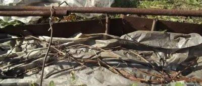 когда раскрывать виноград весной после зимних укрытий