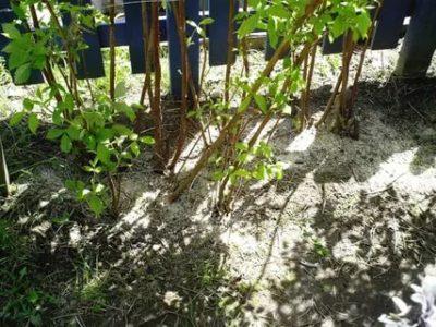 чем удобрять малину осенью чтобы был хороший урожай