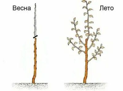 как обрезать колоновидную грушу