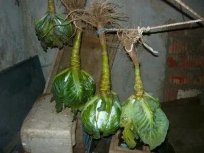 как хранить зимой капусту в подвале