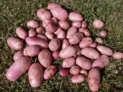 сорт картошки розара