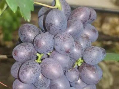 сорт винограда бастра