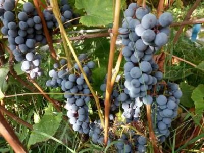 саженцы винограда для подмосковья