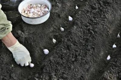 когда садить чеснок на зиму в украине