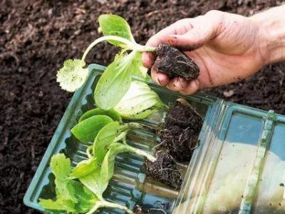 можно ли заглублять рассаду кабачков