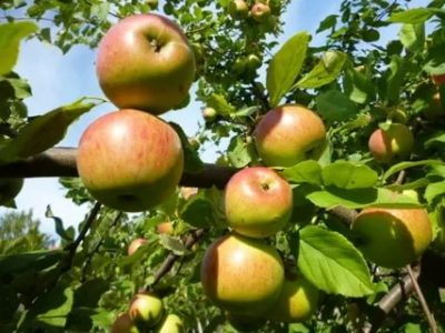 какие сорта яблонь нужно посадить чтобы получить урожай яблок летом