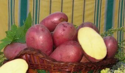 лаура сорт картофеля