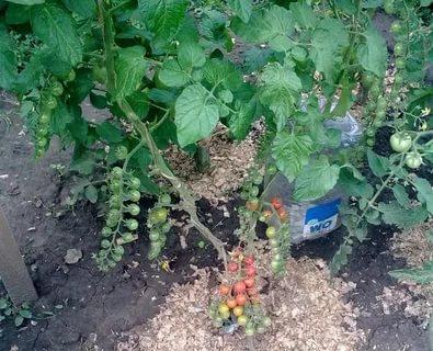 полив помидор в теплице через пластиковые бутылки
