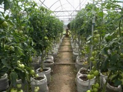 уход за помидорами в августе в теплице