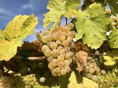 рислинг сорт винограда