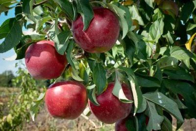 сорт яблони алеся