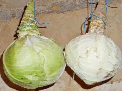 как сохранить капусту в кочанах