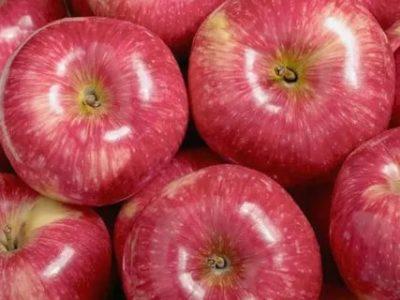 сорт яблони мантет