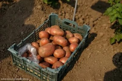 сорта картофеля для воронежской области