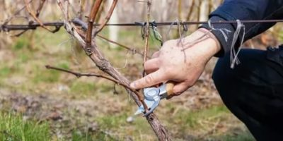 уход за молодым виноградом весной