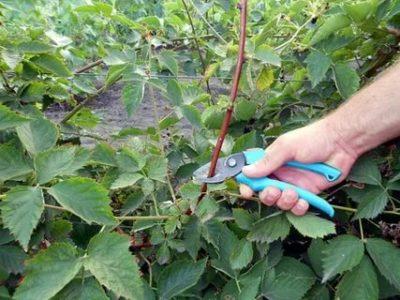 ежевика уход выращивание размножение и обрезка