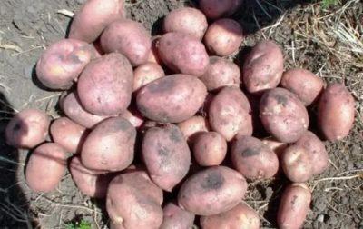 картофель романо описание сорта