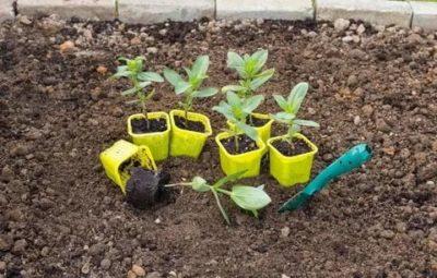 как посадить на рассаду цинию