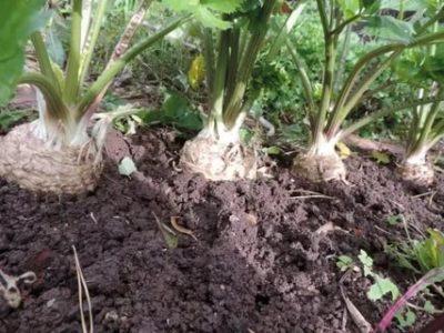 сельдерей корневой выращивание и уход в открытом грунте
