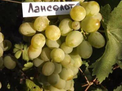 сорт винограда ланселот