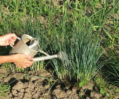 когда прекращать поливать лук