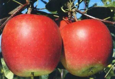 сорт яблони рубин