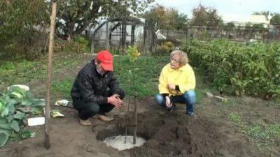 как поливать саженцы плодовых деревьев