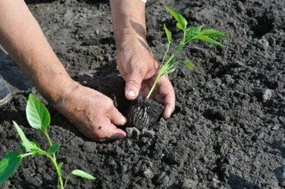 как посадить перец в грунт