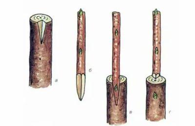 прививка черешни на сливу