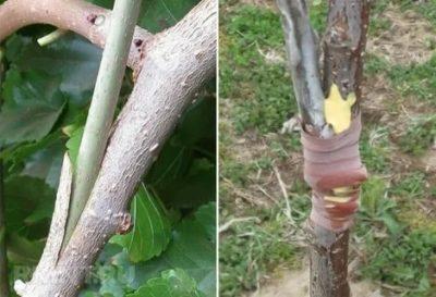 на какое дерево можно привить яблоню
