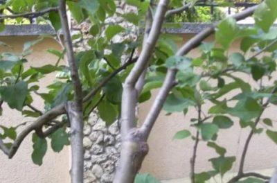 прививка яблони на рябину