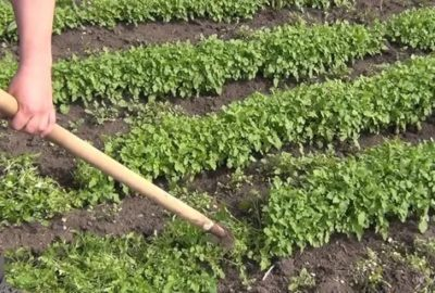 как посадить белую горчицу