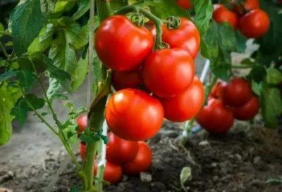 помидоры без семян