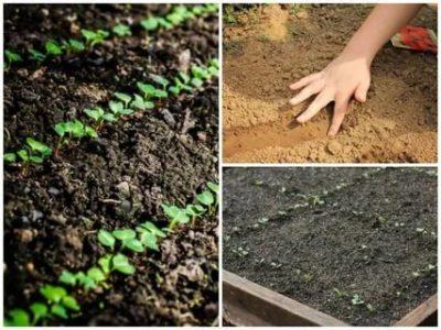 посадка редьки в открытый грунт семенами