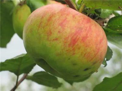 сорт яблок штрейфлинг