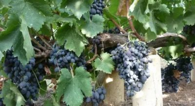 сорт винограда фуршетный