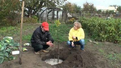 удобрения для посадки яблони