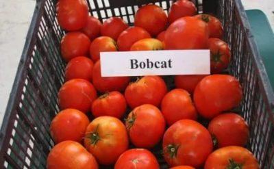 сорт помидор бобкат