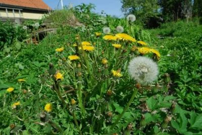 борьба с одуванчиками на огороде