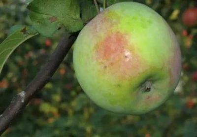 сорта яблонь для архангельской области