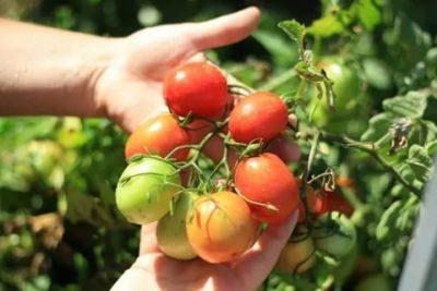 томат санька описание сорта