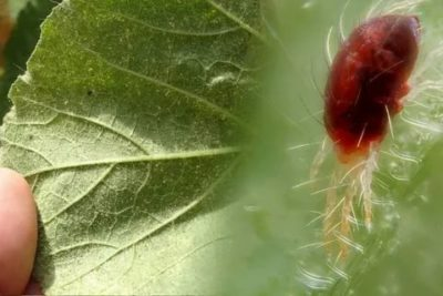 чем опрыскать огурцы от паутинного клеща