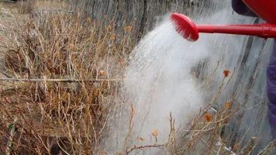 полив смородины весной