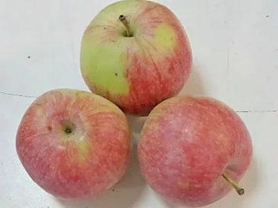 сорта яблонь для среднего поволжья