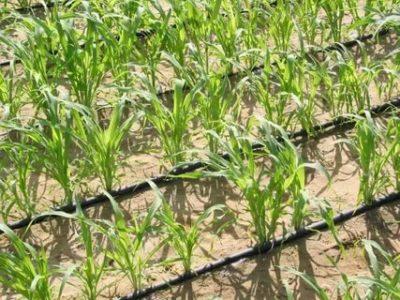 как поливать кукурузу